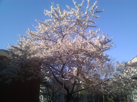 アパートの桜