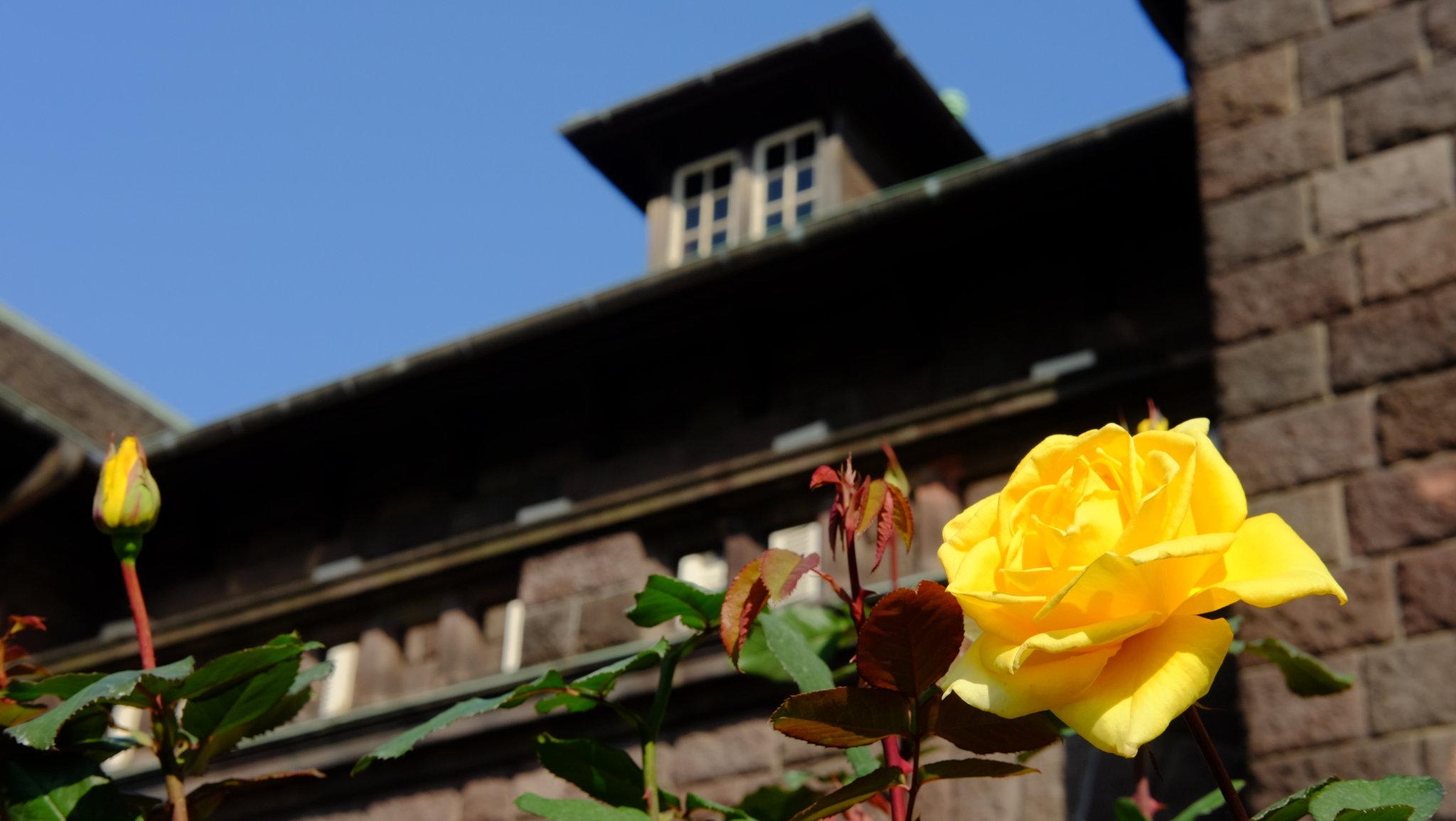 バラが美しい古河庭園